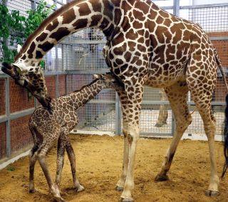 Dallas zoo baby giraffe