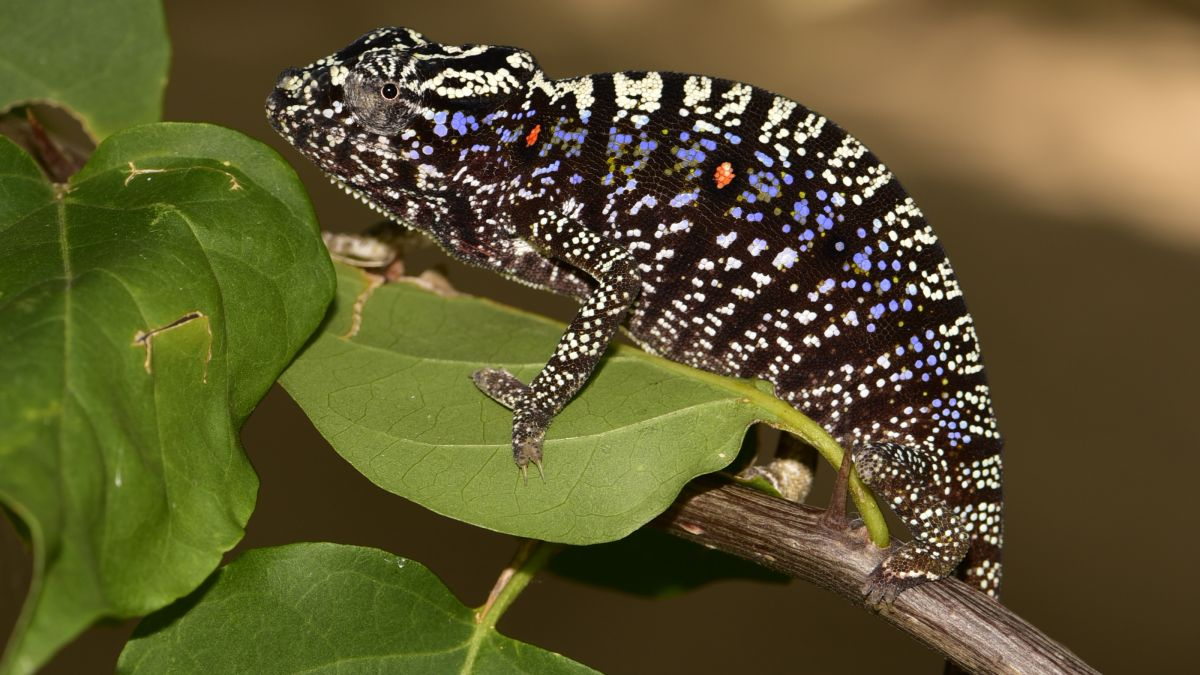 'Lost' chameleon rediscovered after a century in hiding. And it's spectacular.