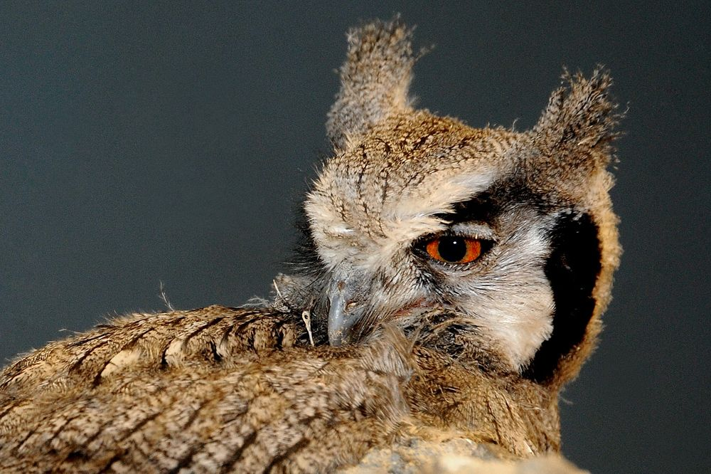 Bad Omen or Wise Advisor? Evocative Owls Star in Photos