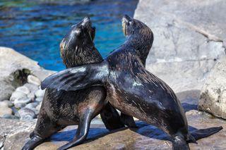 Plastic pollution has reached some of the ocean's top predators South American Fur Seals (<em>Arctocephalus australis</em>).