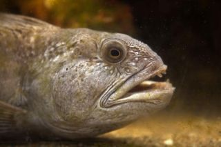 atlantic-wolffish-fish-110718-02