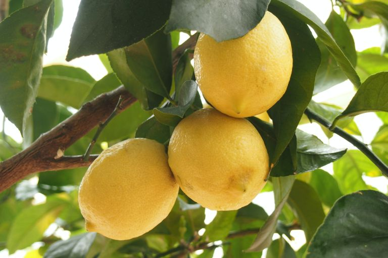 How to grow lemon trees