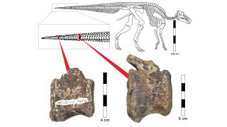 Two tailbones in a juvenile hadrosaur — a duck-billed dinosaur — bear telltale cavities that hint at tumorous growths.