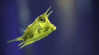 Boxfish inspires bendy electronics and body armour