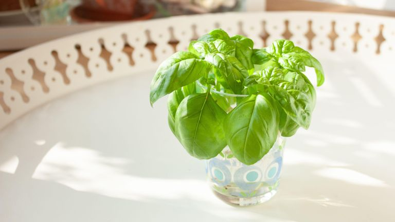 Propagating Basil: Basil cuttings in a glass of water for rooting