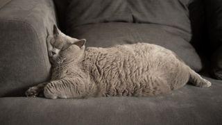 An overweight cat asleep on a sofa