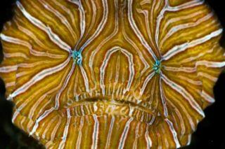 species-earth-striped-fish-110824-02