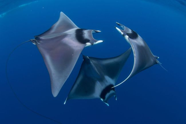 spinetail devil ray trio