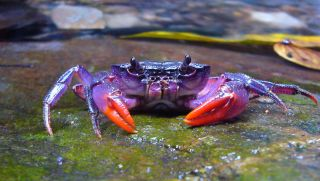 One of the newly discovered crab species, Insulamon palawanense, which is bright purple in color.