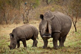 A white rhino mother and calf grazing.