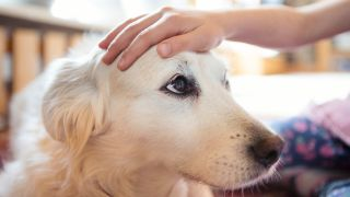 How to know if your dog is in heat. A golden retriever being comforted