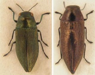 newly-discovered jewel beetle species
