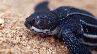 Baby leatherback sea turtles make their way to the ocean as soon as they hatch.