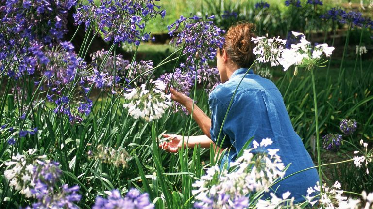 how to grow agapanthus