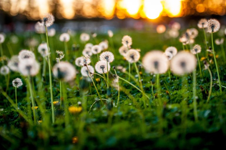 Dandelion heads and other weeds