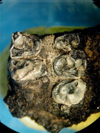 teeth from krabia minuta