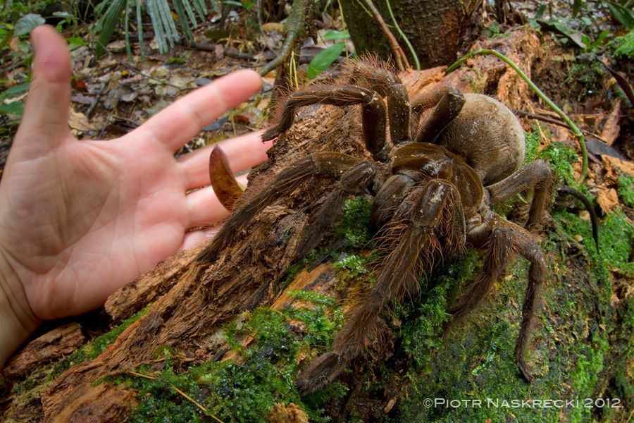 Goliath Birdeater Images Of A Colossal Spider Live Science