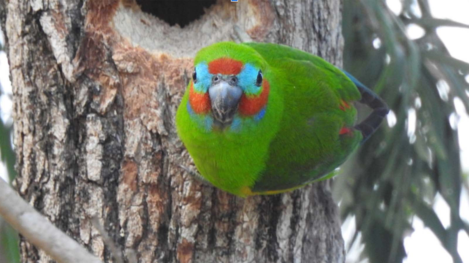 A Double-Eyed Fig Parrot Clinging To A Tree Looking At The Camera