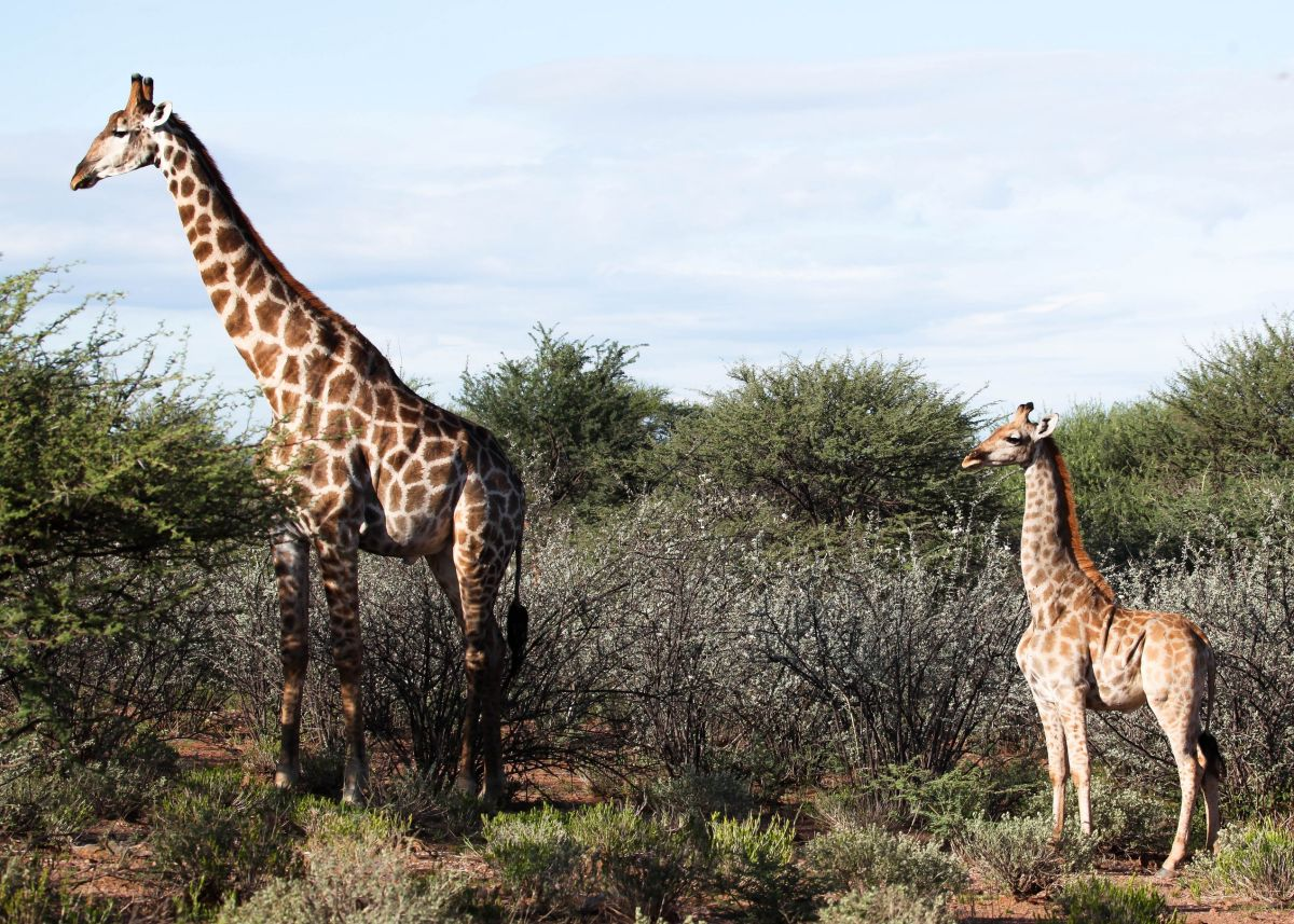 Adorable dwarf giraffes spotted for the first time