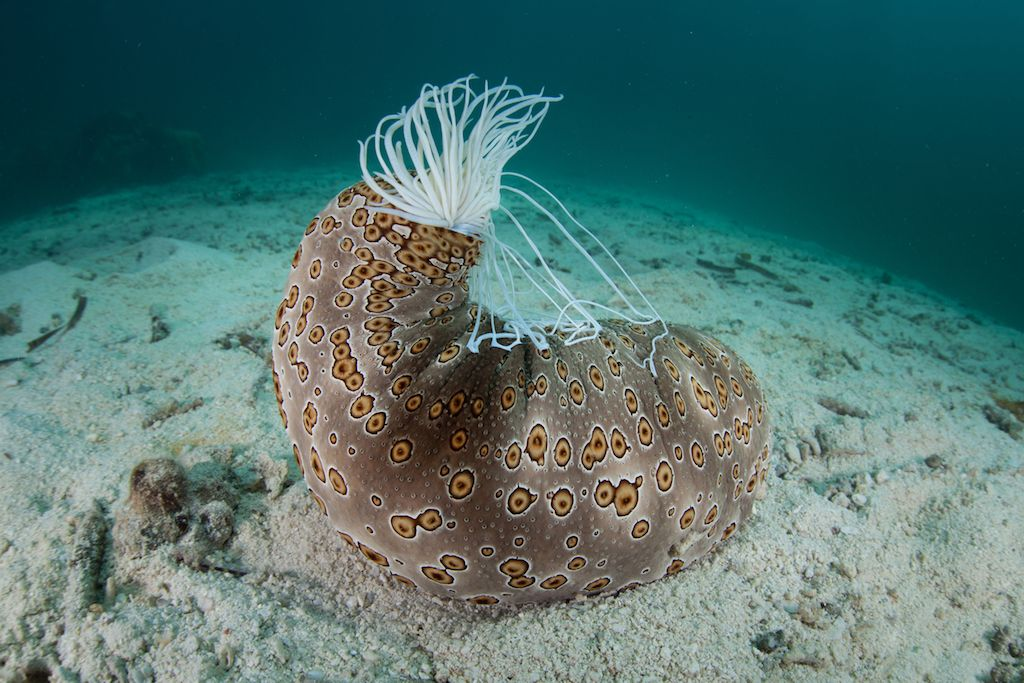 What Is a Sea Cucumber?