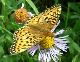 butterflies affected by climate change, climate change effects on animals, mormon fritillary butterfly, earlier springs, early snowmelt in rocky mountains