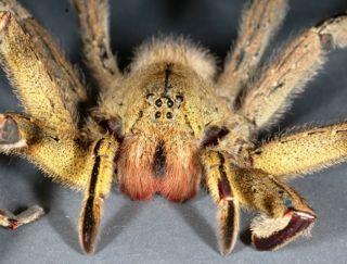 A Brazilian wandering spider.