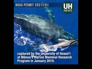 Marine science researchers with the The University of Hawaiʻi at Mānoa are using drones to gain newfound insight into the behaviors, physical cost of migration and humanity's impact on marine mammals.
