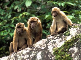 Macaque monkeys sitting together