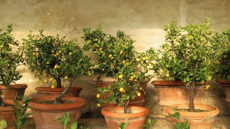 lemons growing in terracotta pots on a terrace