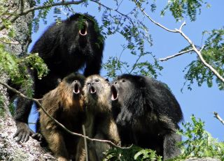 hooting male howler monkeys