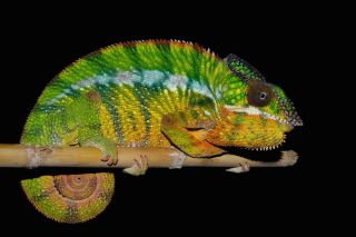 panther chameleon, new species