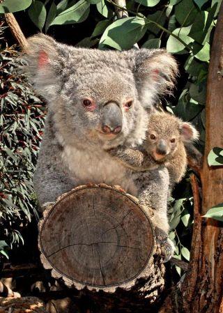 koala-baby-joey-110425-02