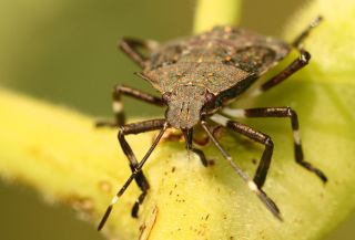 stink bug, steampunk, insects