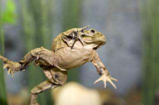 Strange skin, lake titicaca frogs