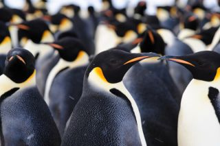 penguins, exploration, exploring Antarctica