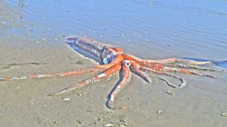 The dead giant squid (Architeuthis dux) found on Golden Mile Beach in Britannia Bay, South Africa.