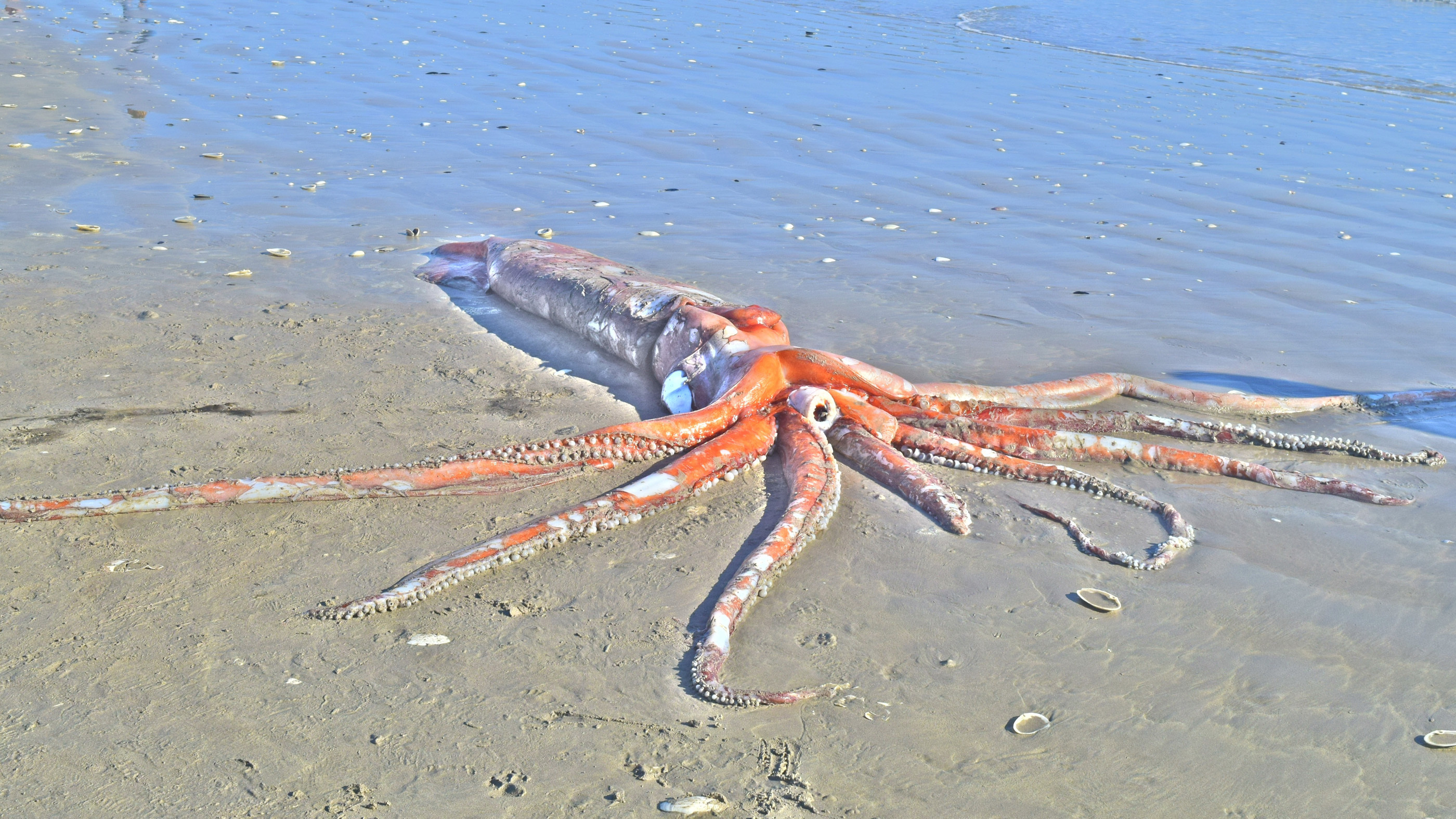 Stunningly intact giant squid washes ashore in South Africa | Live Science