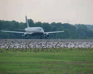 Five times the number of bird-aircraft collisions were recorded in 2011 compared with twenty years before.