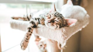 Bengal kitten sprawled out at top of cat tree adopting the side sleeper, one of six common cat sleep positions