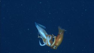 Creepy Cannibals: Squid Have No Qualms About Eating Their