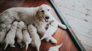 How to tell if a dog is pregnant
