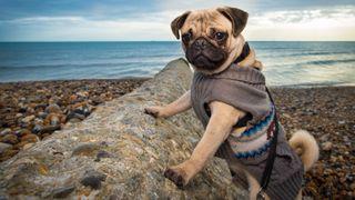 Ways to moisturize dog paws: Pug on the beach