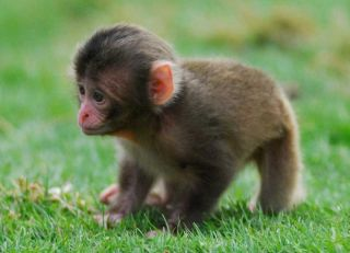 baby monkey photos, baby animal pictures, japanese macaques images, baby zoo animals, what monkeys live in japan, snow monkeys
