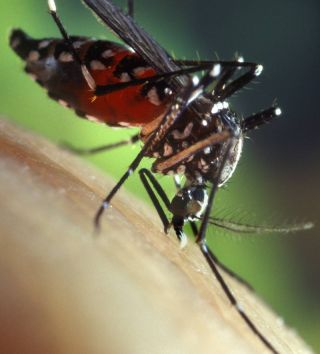 Asian tiger mosquitoes are an invasive species in North America, but with some help from climate change, their presence may help exotic diseases spread on this continent.