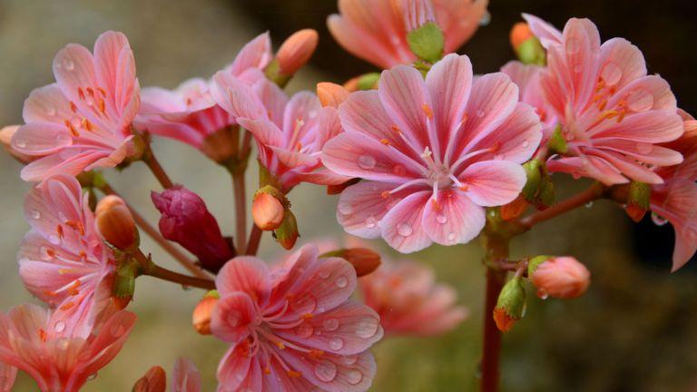 Pink Lewisia cotyledon 'Elise'