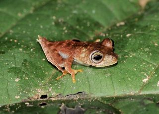 Nicknamed a cowboy frog, this possible new species (<em>Hypsiboas sp.</em>) sports white fringes along the legs and a spur on its heel.