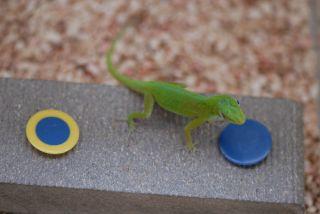 Lizard Solves Cogntive Puzzle