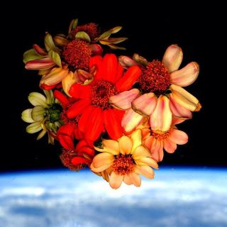 Zinnias in Space