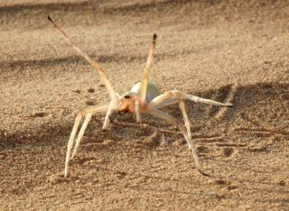 This agile spider (<em>Cebrennus rechenbergi</em>) cartwheels its way out of danger.