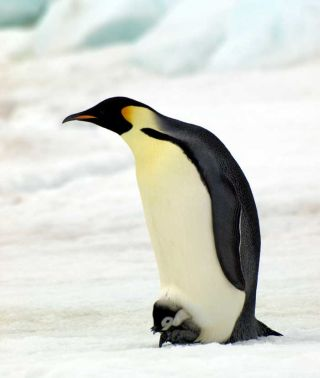 emperor penguins, penguins, antarctic penguins, british antarctic survey penguins